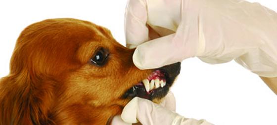 Tandvård hos sällskapsdjur