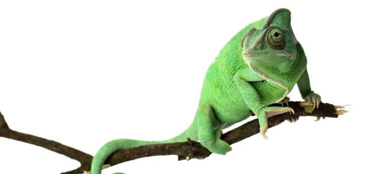 Kameleont – ett välkommet inslag i den spanska naturen