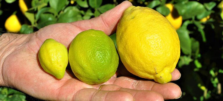 Sabor a Málaga - Citroner