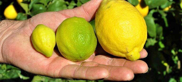 Sabor a Málaga: Citroner
