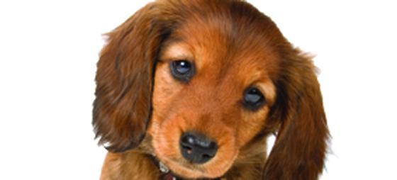 Hjärtmask hos hundar