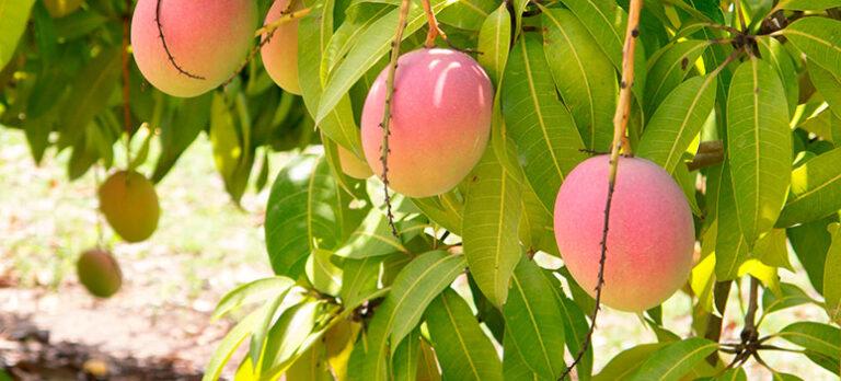 Tropisk mango odlas i La Cala de Mijas