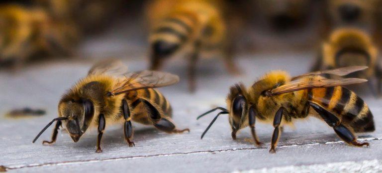 Vad kan bin och andra sociala insekter lära oss om åldrande?