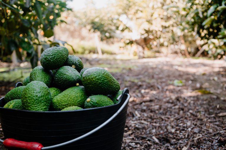 Mercadona köper 7 000 ton avokado från leverantör i Málaga